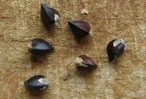 Τι είναι η sobacha (ή αλλιώς το γνωστό φαγόπυρο) και πώς την παρασκευάζουμε;